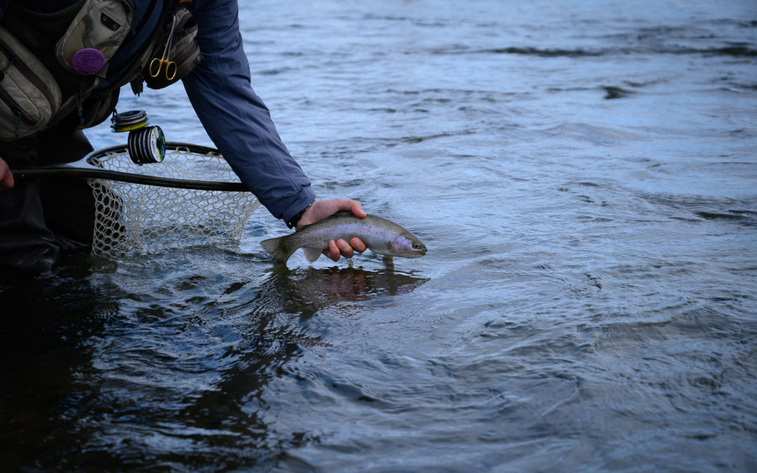 Gallatin River rainbow trout caught in Montana during the winter