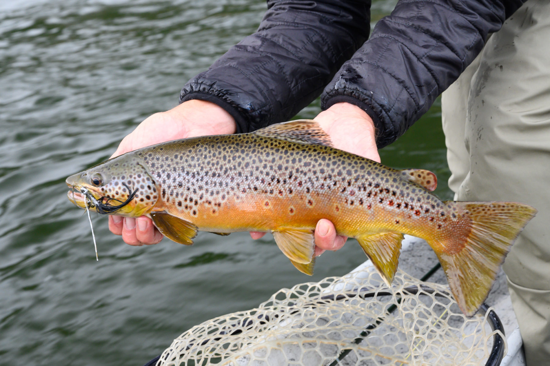 Missouri River brown trout caught on