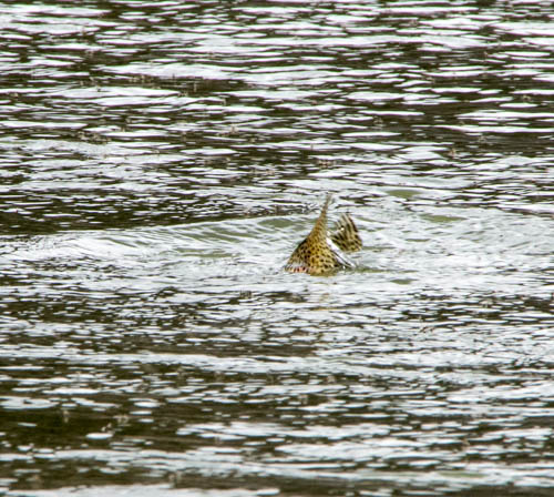 Rainbow trout rising to a dry fly on the Missouri River in Montana