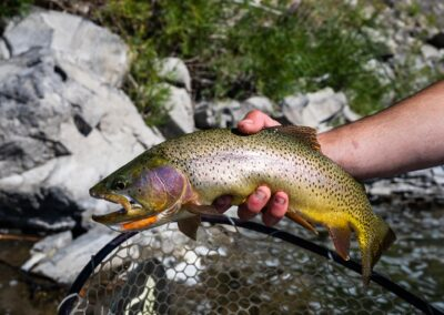 Yellowstone river cutthroat trout in Montana