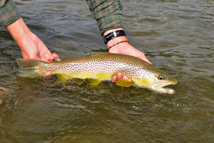Angler holding a Yellowstone River Brown Trout