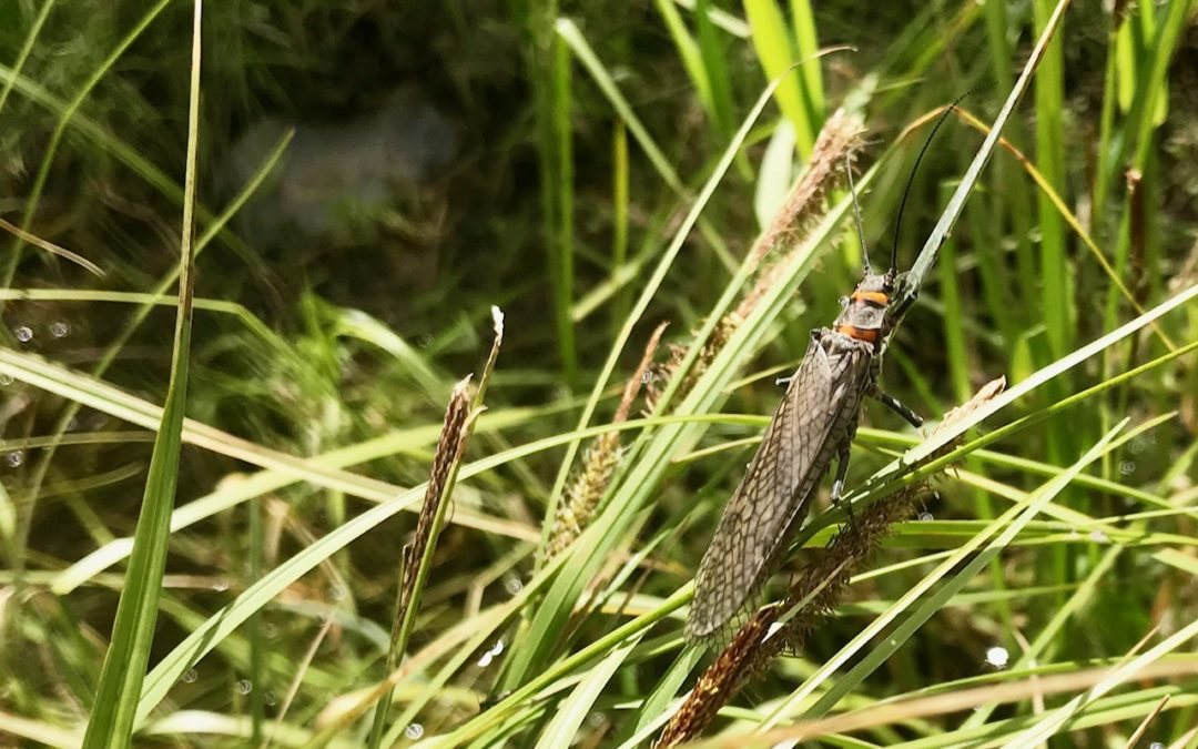 Salmonfly on the banks of the Madison River in Montana