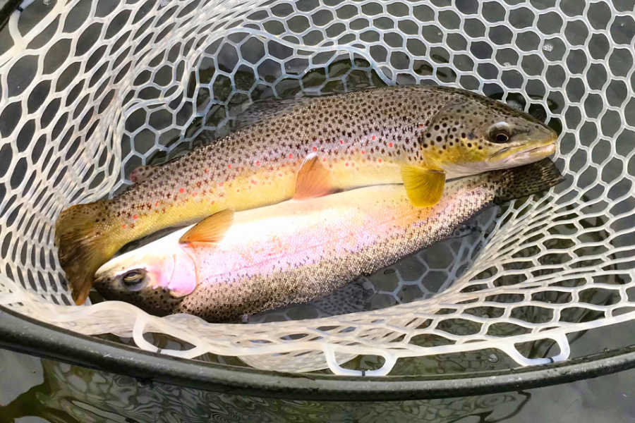 Net full of trout on the Stillwater River