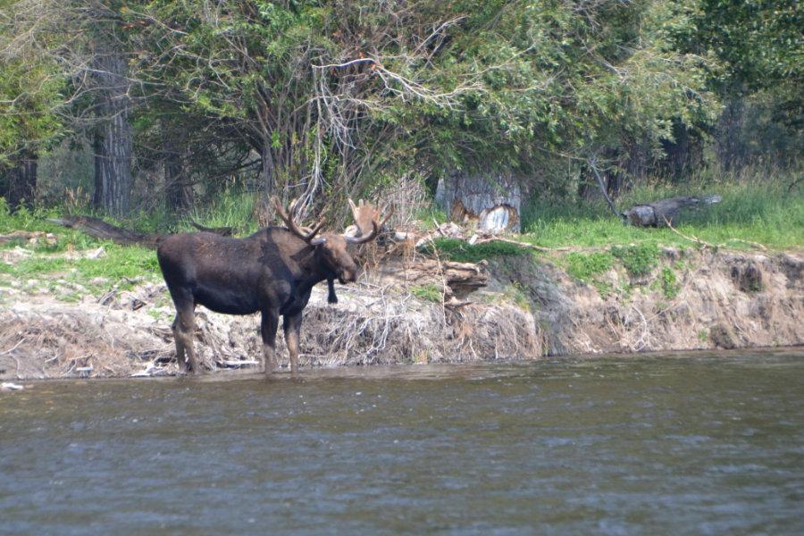 jefferson-river-moose