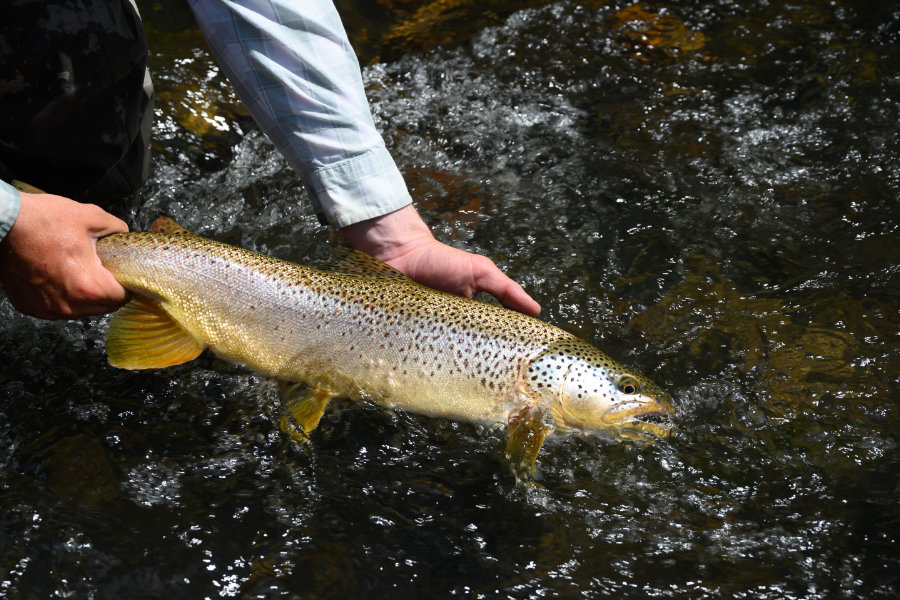 madison-river-brown-trout-salmonfly