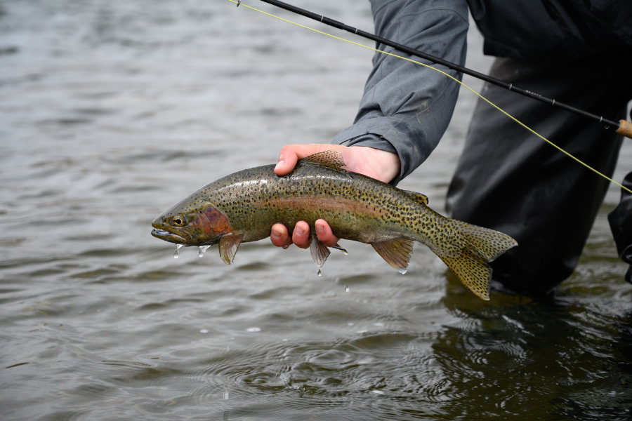 Madison River rainbow trout in the Spring