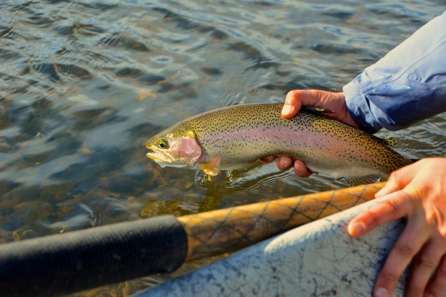 missouri-river-rainbow-trout