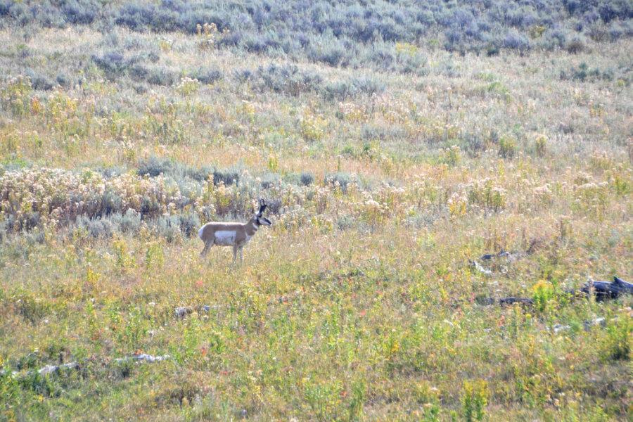 pronghorn-antelope-yellowstone