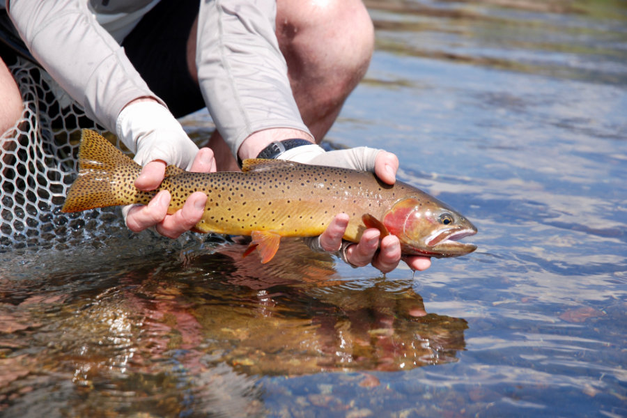 yellowstone-angler-trout-2