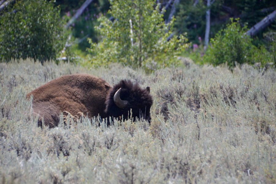 Bison lying by a river in Yellowstone National Park